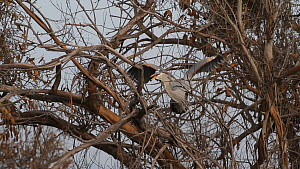 Great blue heron (Ardea herodias) trying to break off branches to use for building nest, Southern California, USA, February.  -  John Chan