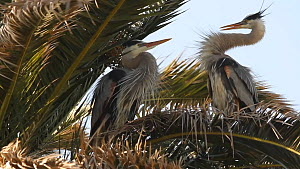 Great blue herons (Ardea herodias) courting, bill dueling and bill snapping, Southern California, USA, March.  -  John Chan