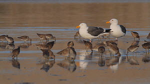 Western gulls (Larus occidentalis) roosting on a mudflat, with Dowitchers (Scolopacidae) foraging nearby, Southern California, USA, April. - John Chan