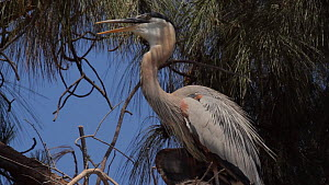 Great blue heron (Ardea herodias) thermoregulating, trying to keep cool, Southern California, USA, May. - John Chan