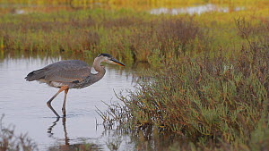 Juvenile Great blue heron (Ardea herodias) predating a twig , learning stalking and hunting skills, Southern California, USA, July.  -  John Chan