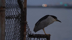 Black-crowned night heron (Nycticorax nyticorax) perched on a fence, Southern California, USA, July. - John Chan