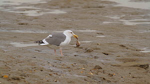 Western gull (Larus occidentalis) feeding on a California two-spot octopus (Octopus bimaculoides) on a mudflat at low tide, Southern California, USA, November. - John Chan