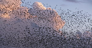 Large flock of Common starlings (Sturnus vulgaris) swirling over reedbed roost at dusk, Ham Wall RSPB Reserve, Somerset, England, UK, November. - John Waters