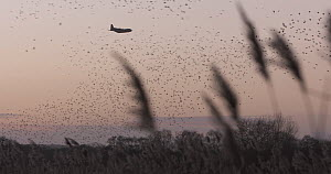 Hercules airfcraft disturbing Common starlings (Sturnus vulgaris) gathering to roost in a reedbed at sunset, Ham Wall RSPB Reserve, Somerset, England, UK, January.  -  John Waters