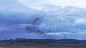 Large flock of Common starlings (Sturnus vulgaris) gathering to roost in a reedbed at dusk, Ham Wall RSPB Reserve, Somerset, England, UK, January. - John Waters