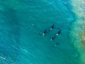 Orca (Orcinus orca) pod hunting in channel, aerial view. Punta Norte, Valdez Peninsula, Argentina. April 2018.  -  Gabriel Rojo