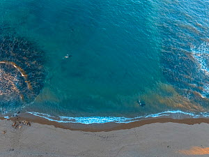 Orca (Orcinus orca) two patrolling coastal waters in channel between rocks. South American sealion (Otaria flavescens) group on shore. Aerial view, Punta Norte, Valdez Peninsula, Argentina. April 2018...  -  Gabriel Rojo