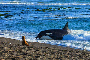 South American sealion (Otaria flavescens) on beach watching Orca (Orcinus orca) with sealion in mouth. Orca beaching itself in shallow water. Punta Norte, Valdez Peninsula, Argentina. April.  -  Gabriel Rojo