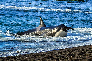 Orca (Orcinus orca) with South American sealion (Otaria flavescens) in mouth, beaching itself on shore. Punta Norte, Valdez Peninsula, Argentina. April.  -  Gabriel Rojo