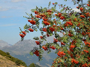 Mountain ash / Rowan tree (Sorbus aucuparia) laden with berries, near Puerto de San Glorio, Picos de Europa mountains, Cantabria, Spain, August 2016. - Nick Upton
