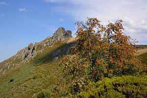 Mountain ash / Rowan tree (Sorbus aucuparia) laden with berries with Pena Llesba in the background, Puerto de San Glorio, Cantabria, Spain, August. - Nick Upton