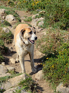 Spanish mastiff guard dog (Canis domesticus) wearing a metal spiked carlanca collar to protect it from wolves, protecting a herd of sheep on pastureland above the Lakes of Covadonga, Asturias, Spain,... - Nick Upton
