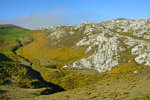 Mountain slopes covered in Western gorse bushes (Ulex gallii), near Sotres, Picos de Europa, Asturias, Spain, August 2016.  -  Nick Upton