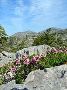 Cornish heath (Erica vagans) clump flowering among limestone rocks on montane pastureland, above the Lakes of Covadonga, at 1300m, Picos de Europa, Asturias, Spain, August.  -  Nick Upton