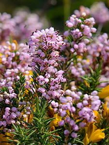Cornish heath (Erica vagans) clump flowering on montane pastureland, above the Lakes of Covadonga, at 1300m, Picos de Europa, Asturias, Spain, August. - Nick Upton
