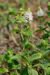 Apple mint / Round-leaved mint (Mentha suaveolens = Mentha rotundifolia) flowering on a mountain slope, Salarzon, Picos de Europa, Cantabria, Spain, August.  -  Nick Upton