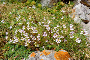 Alpine eyebright (Euphrasia alpina) flowering on montane pastureland among limestone rocks, Covadonga, Picos de Europa, Asturias, Spain, August.  -  Nick Upton