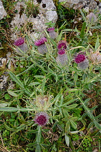 Woolly thistle (Cirsium eriophorum subsp. chodatii) flowering on mountain slopes among limestone rocks, Covadonga, Picos de Europa, Asturias, Spain, August. - Nick Upton