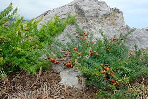 Wild asparagus (Asparagus officinalis), an IUCN Red List species, with red fruits, growing among limstone rocks on coastal headland, Pria, near Ribadesella, Asturias, Spain, August.  -  Nick Upton