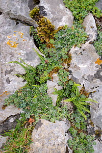 Livelong saxifrage (Saxifraga paniculata) and Maidenhair spleenwort (Asplenium trichomanes) growing in limestone rock crevices, Covadonga, Picos de Europa, Asturias, Spain, August. - Nick Upton