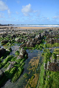 Duckpool Beach and rock pools at low tide, with a variety of green and brown algae covering rocks, near Bude, Cornwall, UK, September 2018. - Nick Upton