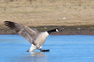 Canada goose (Branta canadensis) sliding on ice as it lands on a frozen marshland pool, Gloucestershire, UK, February. - Nick Upton