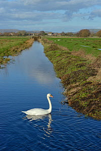 Mute swan (Cygnus olor) cob swimmimng in a drainage channel with others grazing in the background, Tealham Moor, Somerset Levels, UK, January. - Nick Upton