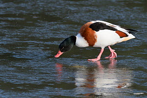 Shelduck (Tadorna tadorna) female walking on a frozen pond, Gloucestershire, UK, February.  -  Nick Upton