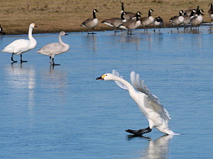 Bewick's swan (Cygnus columbiana bewickii) sliding on ice as it lands on a frozen marshland pool with other swans and Canada geese (Branta canadensis) in the background, Gloucestershire, UK, Febru... - Nick Upton