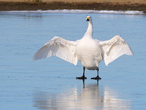 Bewick's swan (Cygnus columbiana bewickii) flapping its wings as it stands on a frozen marshland pool, Gloucestershire, UK, February. - Nick Upton