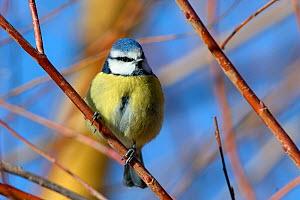 Blue tit (Parus caeruleus) perched on a Willow (Salix sp.) tree branch, Gloucestershire, UK, February.  -  Nick Upton