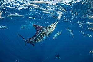 Striped marlin (Tetrapturus audax) feeding on Sardine (Sardinops sagax). Magdalena Bay, Baja California Sur, Pacific Ocean, Mexico.  -  Franco  Banfi