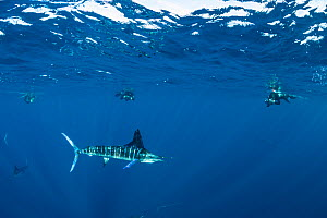 Striped marlin (Tetrapturus audax) hunting, free divers taking photographs in background. Magdalena Bay, Baja California Sur, Pacific Ocean, Mexico. - Franco  Banfi