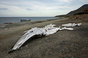 Grey whale (Eschrichtius robustus) skeleton on beach. Magdalena Island, Magdalena Bay, Baja California Sur, Mexico.  -  Franco  Banfi