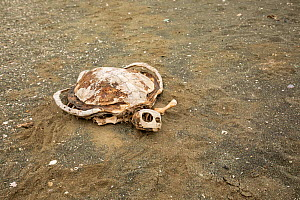 Turtle shell skeleton on sandy beach. Magdalena Island, Magdalena Bay, Baja California Sur, Mexico.  -  Franco  Banfi