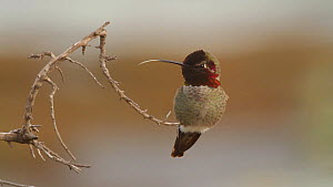 Male Anna's hummingbird (Calypte anna) cleaning its beak on a twig, Southern California, USA, January.  -  John Chan