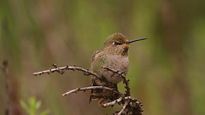 Female Anna's hummingbird (Calypte anna) flying back and forth from its perch, hunting gnats swarming nearby, Southern California, USA, January.  -  John Chan
