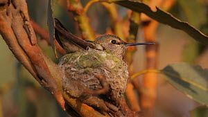 Female Anna's hummingbird (Calypte anna) incubating eggs, departs from nest momentarily to feed, Southern California, USA, March. - John Chan