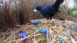 Male Satin bowerbird (Ptilonorhynchus violaceus) courting female on suburban street verge, bower filled with blue plastic, Australia, October 2018.  -  David Gallan