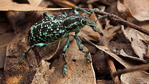 Botany Bay diamond weevil (Chrysolopus spectabilis), New South Wales, Australia, January.  -  David Gallan