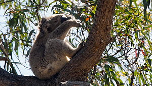 Koala (Phascolarctos cinereus) grooming itself in a tree, East Gippsland, Australia, December. - David Gallan