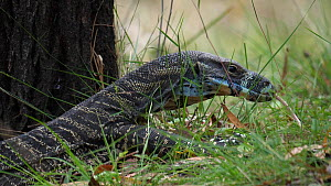 Lace monitor (Varanus varius) sensing with tongue, New South Wales, Australia, December. - David Gallan