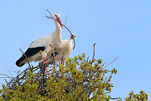 White stork (Ciconia ciconia) pair arranging nest material on their nest in an Oak tree, Knepp estate, Sussex, UK, April 2019. This is the first recorded instance of White storks nesting in the UK for...  -  Nick Upton