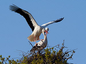 White stork (Ciconia ciconia) pair mating on their nest, Knepp estate, Sussex, UK, April 2019. This is the first recorded instance of White storks nesting in the UK for several hundreds of years. - Nick Upton