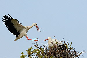 White stork (Ciconia ciconia) male landing with nest material and joining his mate on their nest in an Oak tree, Knepp estate, Sussex, UK, April 2019. This is the first recorded instance of White stor...  -  Nick Upton
