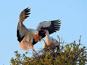 White stork (Ciconia ciconia) male landing with nest material as his mate bill clatters on their nest in an Oak tree, Knepp estate, Sussex, UK, April 2019. This is the first recorded instance of White... - Nick Upton