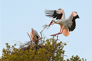 White stork (Ciconia ciconia) male landing with nest material and joining his mate on their nest in an Oak tree at sunset, Knepp estate, Sussex, UK, April 2019. This is the first recorded instance of...  -  Nick Upton