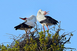 White stork (Ciconia ciconia) pair performing an up-down display with bill clattering on their nest in an Oak tree, Knepp estate, Sussex, UK, April 2019. This is the first recorded instance of White s...  -  Nick Upton