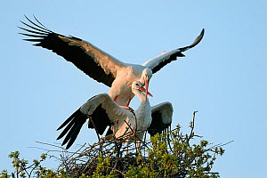 White stork (Ciconia ciconia) pair mating on their nest at sunset, Knepp estate, Sussex, UK, April 2019. This is the first recorded instance of White storks nesting in the UK for several hundreds of y...  -  Nick Upton